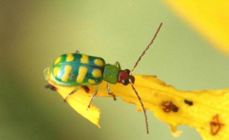Banded_cucumber_beetle